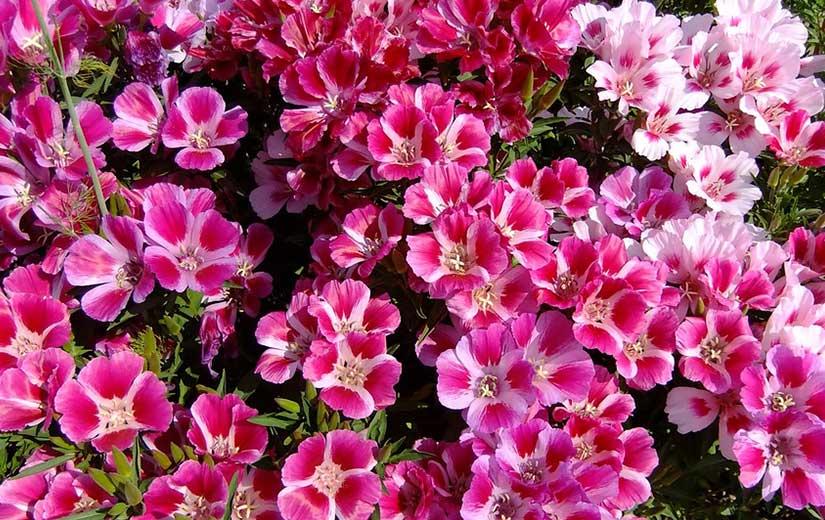 Godétia plante annuelle