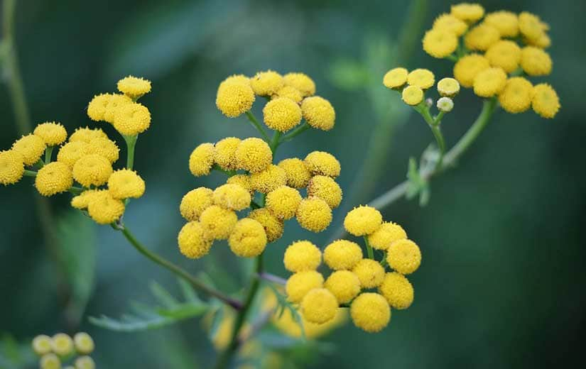 Immortelle plante annuelle