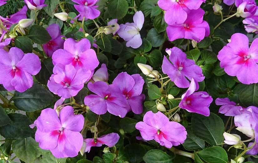 Impatiens Fleur Annuelle