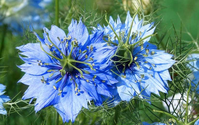 Nigelle plante annuelle