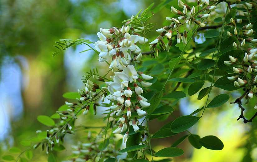 Acacia arbre d'ornement