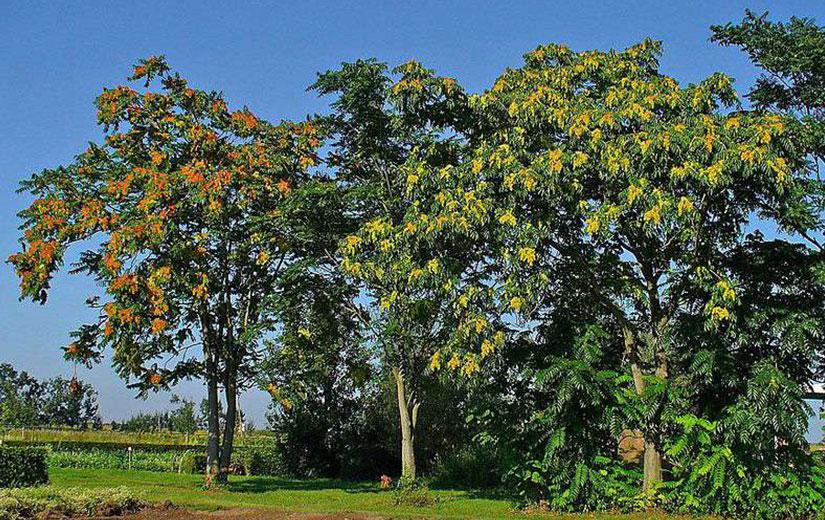Ailante arbre d'ornement