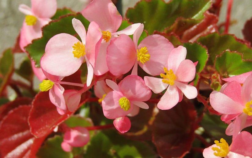Begonia Fleur Annuelle
