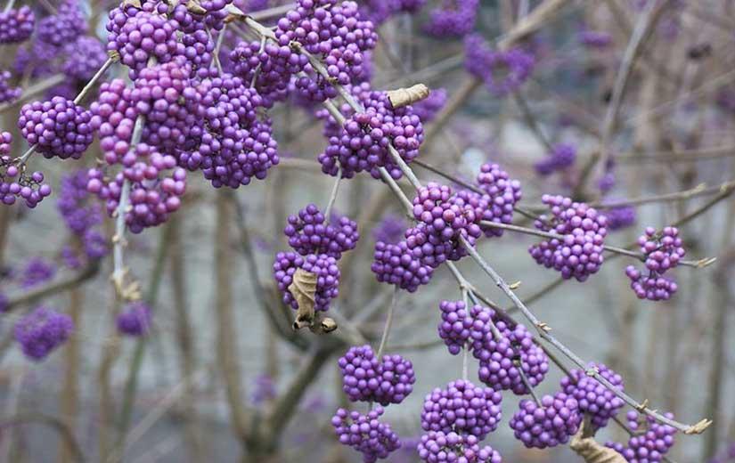 Callicarpa arbuste ornement