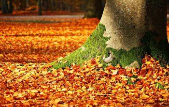 Feuilles d'arbre qui tombent