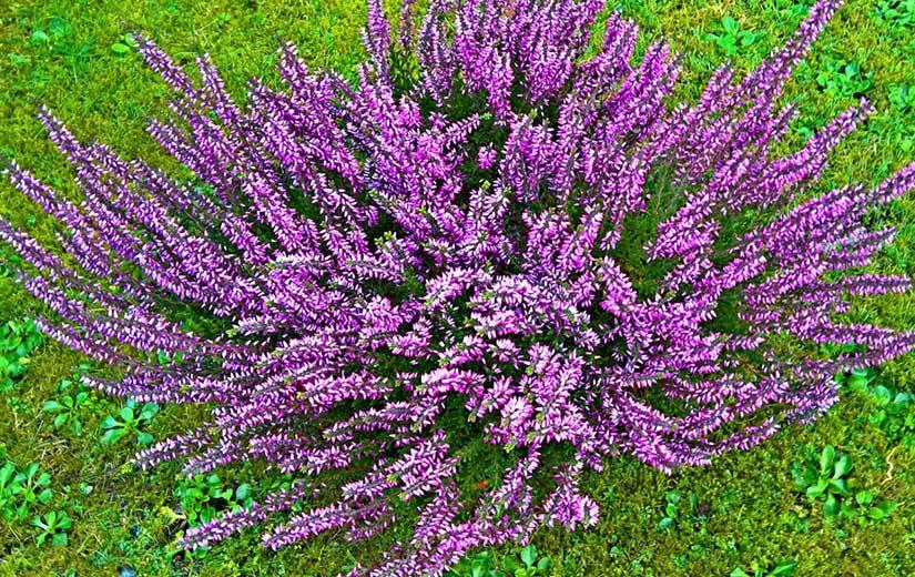 Lavande Arbuste d'ornement