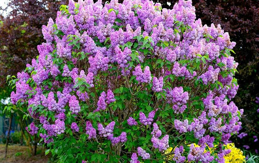 Lilas arbuste d'ornement