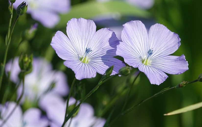 Lin Fleur Annuelle