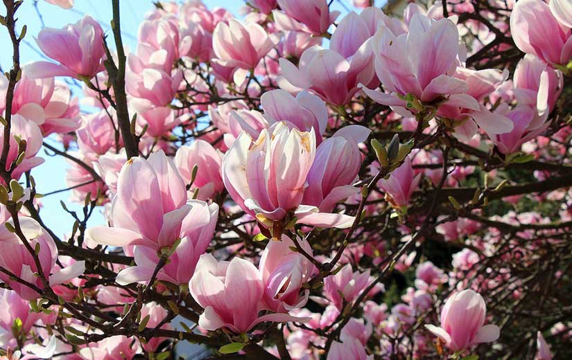 Magnolia arbre d'ornement jardin