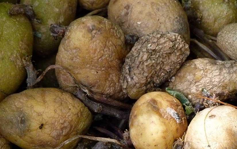 Maladie Legumes