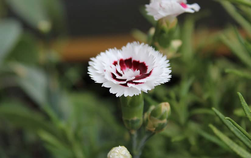 Oeillet plante annuelle