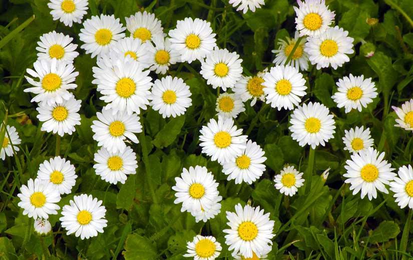 Paquerette fleurs bisannuelles