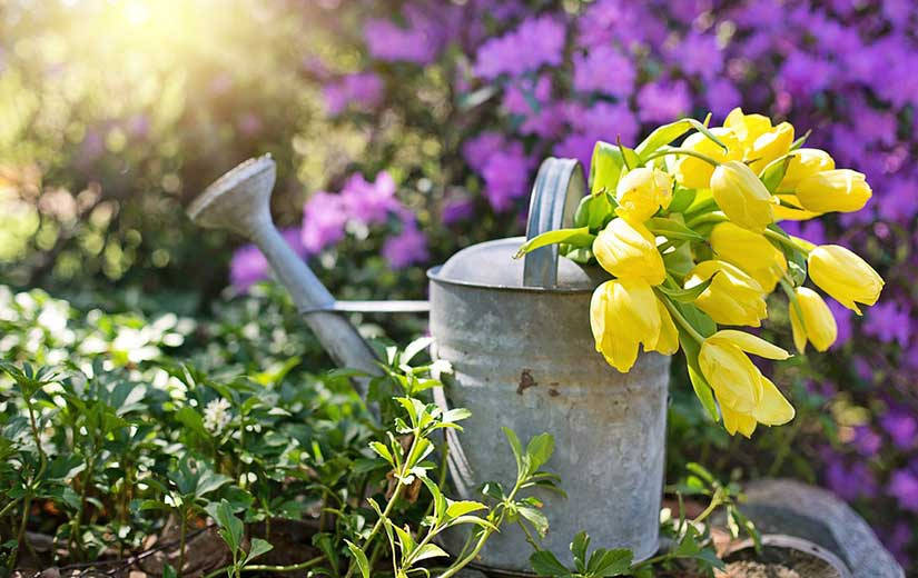 Plantation Tulipes