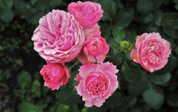 différents types de rosiers