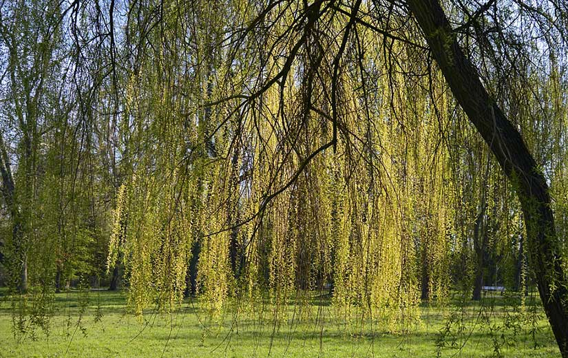 Saule arbre d'ornement