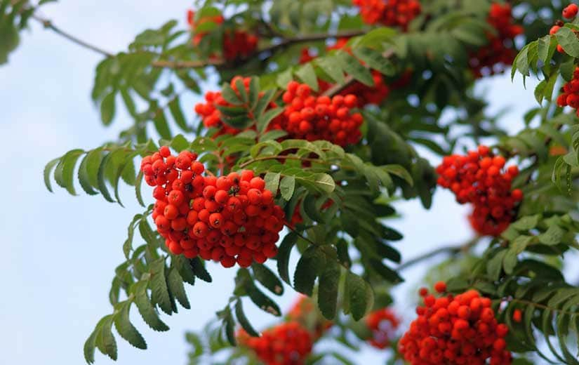 Sorbier arbre d'ornement