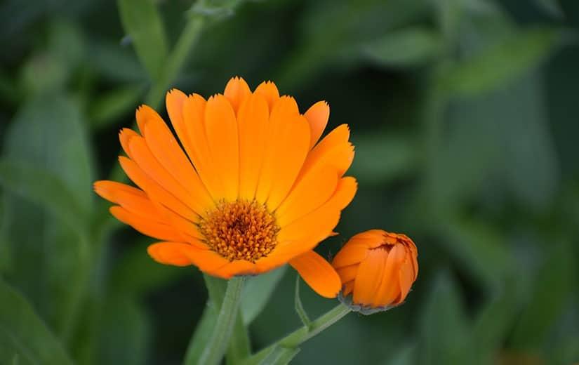 Souci Fleur Annuelle