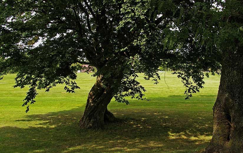Tilleul arbre d'ornement