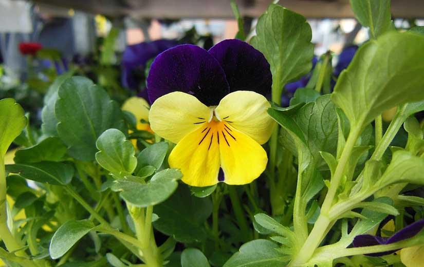 Violette Cornue fleur bisannuelle