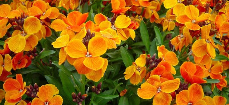 Giroflée Orange