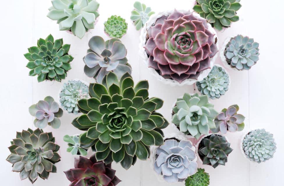 Arrosser Succulentes