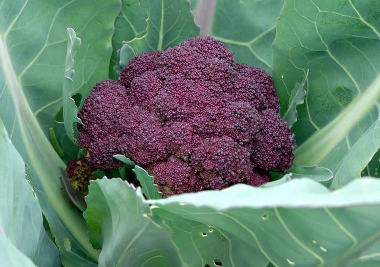 Brocolis Annuel violet