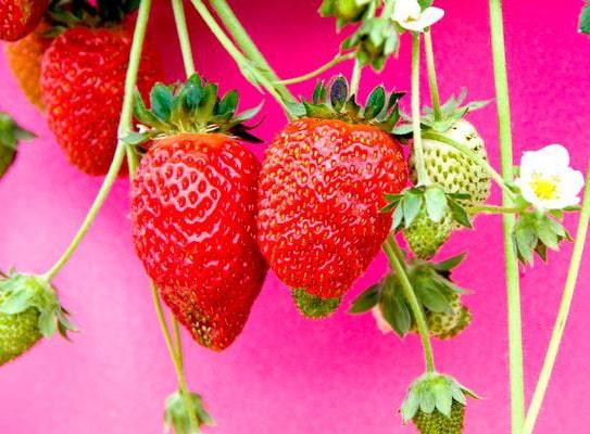 Fruits Fraise Tarpan 10 graines
