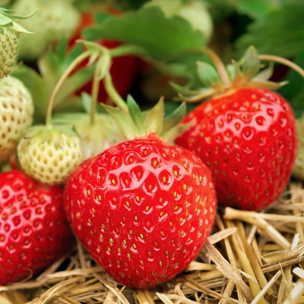 Quel Fruit Planter Au Printemps semer et cultiver des fraises : quand, comment et quelle