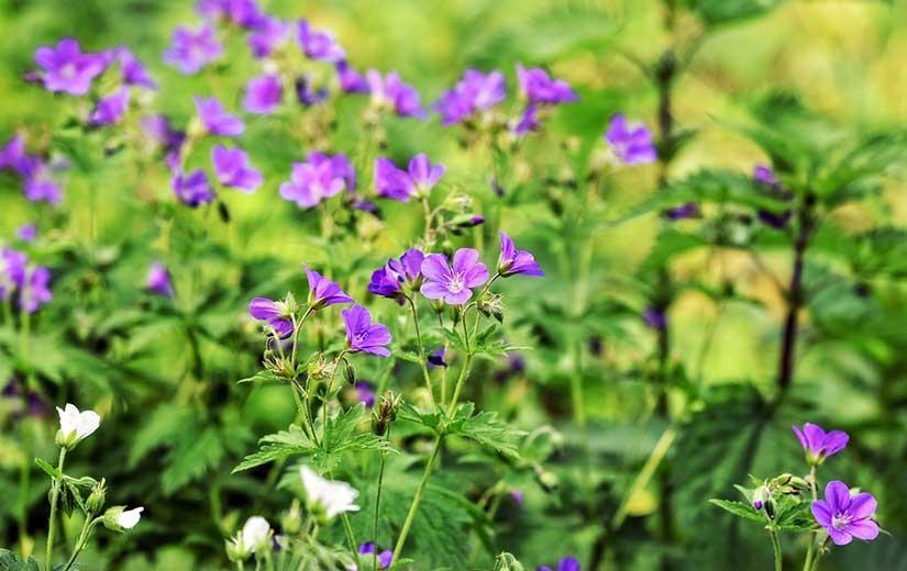 Ou Planter Geranium