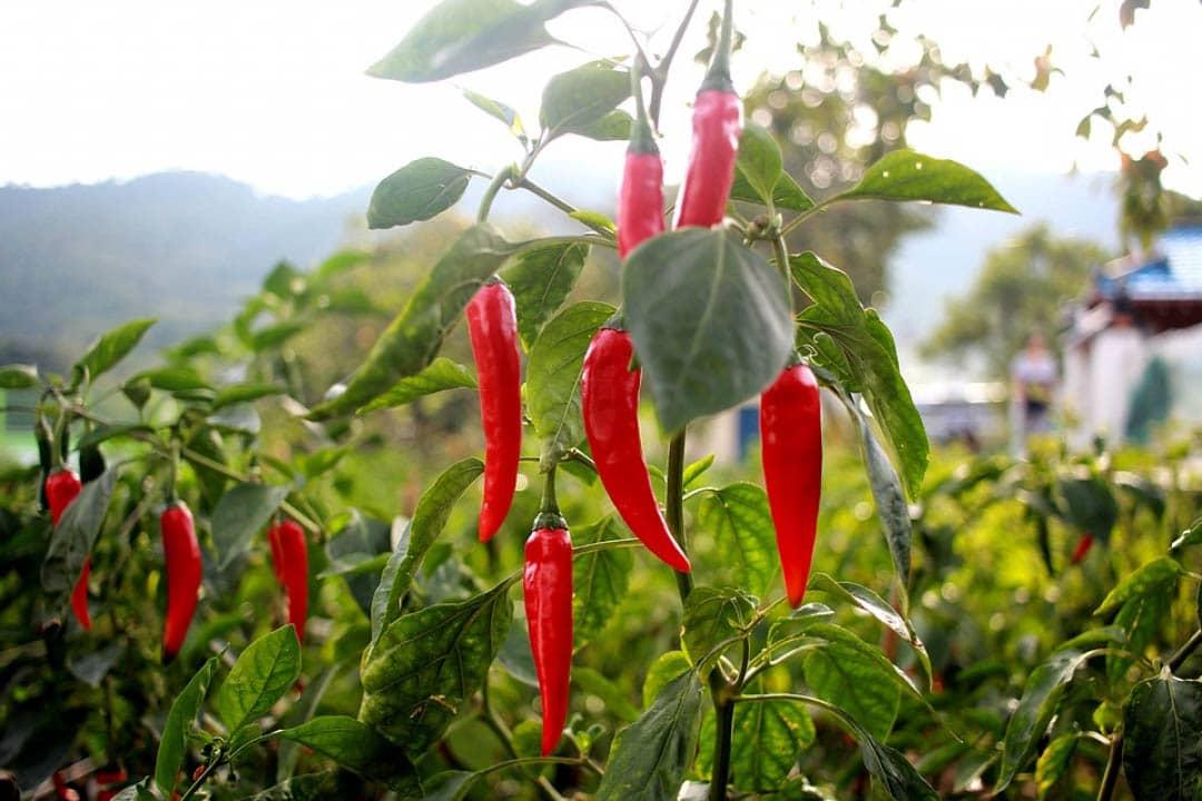 Plant De Piment De Cayenne