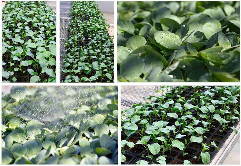 Plantation Brocolis