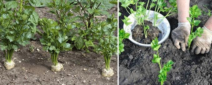 Plantation Celeri