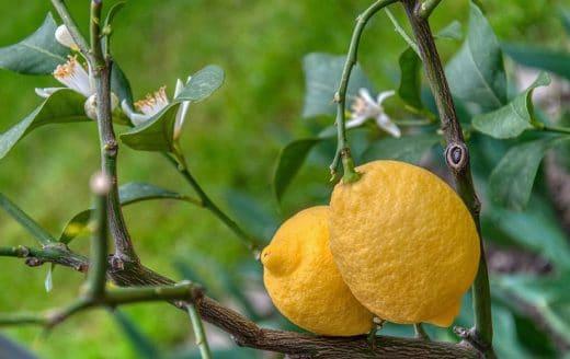Planter Citronnier