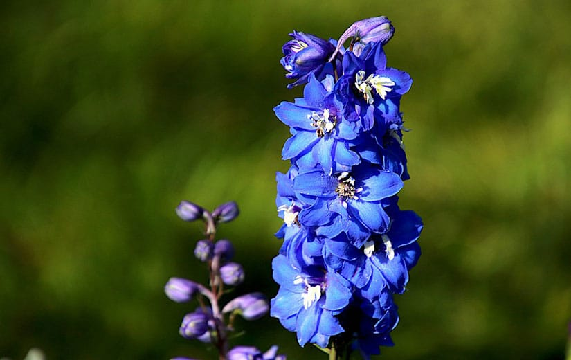 Planter Delphiniums