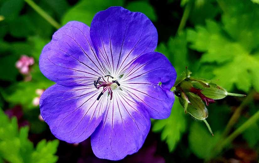 Planter Geranium