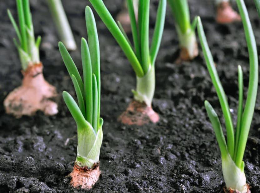 Semer Oignon