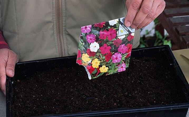 Semer Petunia En Pot