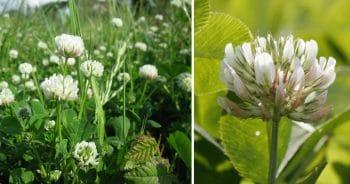 Trefle Blanc Trifolium Repens
