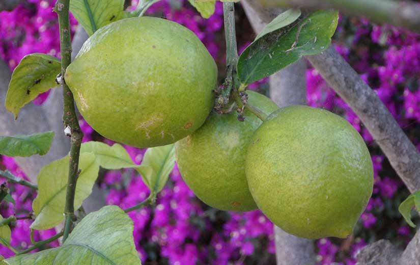 Varietes Citron