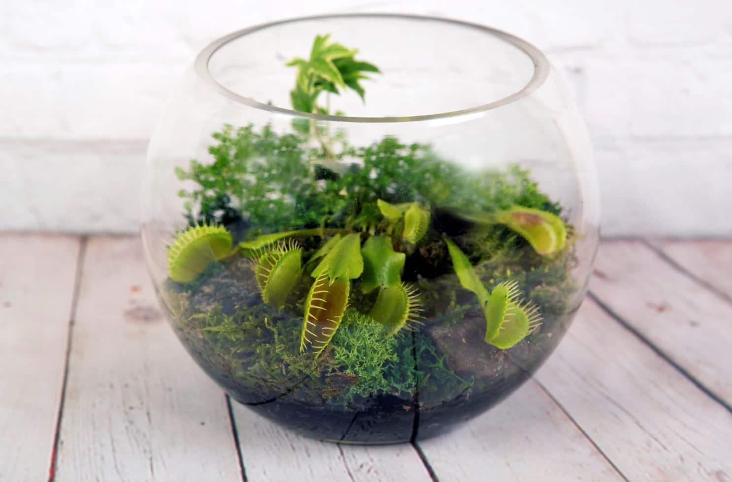 mettre des plantes carnivores dans un terrarium lesquelles choisir