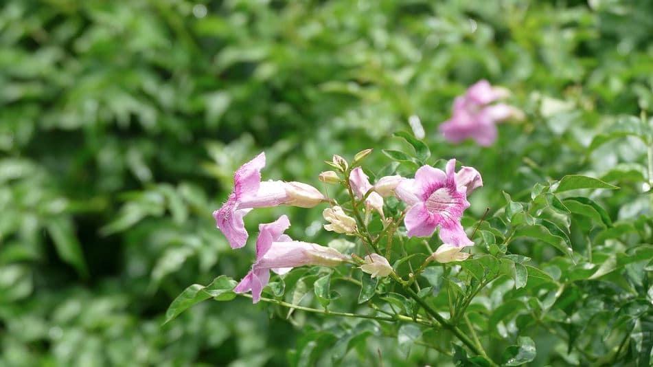 Bignone Rose