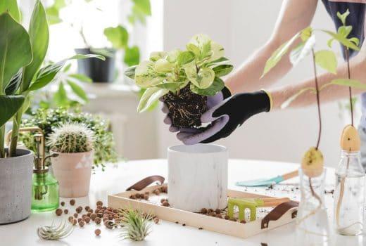 Comment Rempoter Plante Grasse