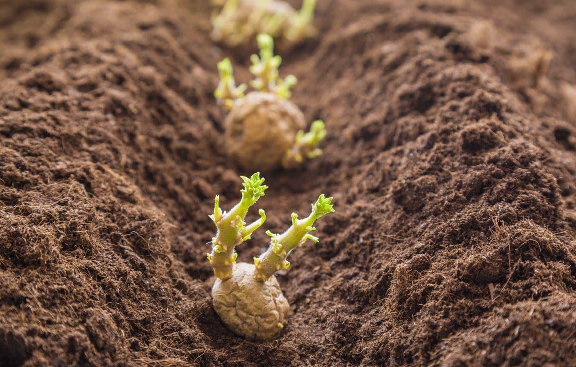 Plant De Pommes De Terre