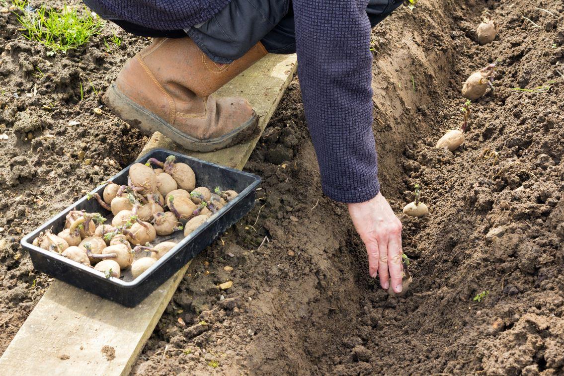 Planter Pommes De Terre Sans Effort