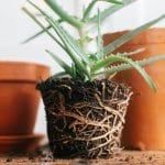 Quand Rempoter Plante Verte D'intérieur