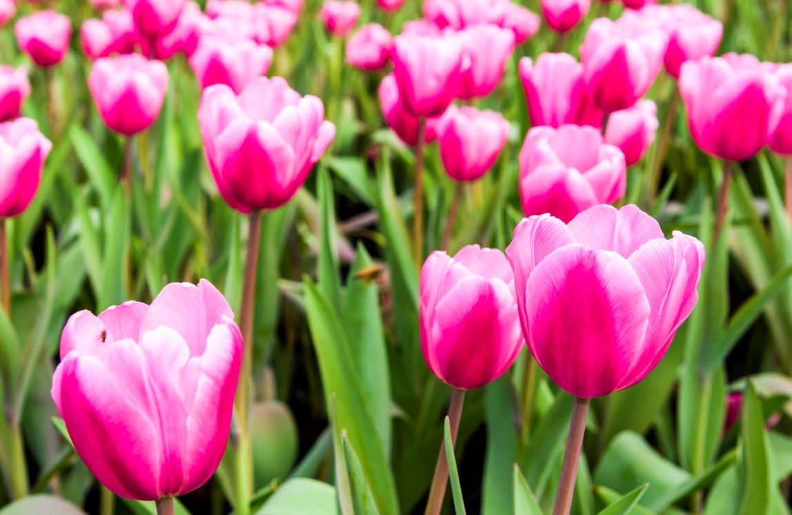 Tulipes Plantation Jardin