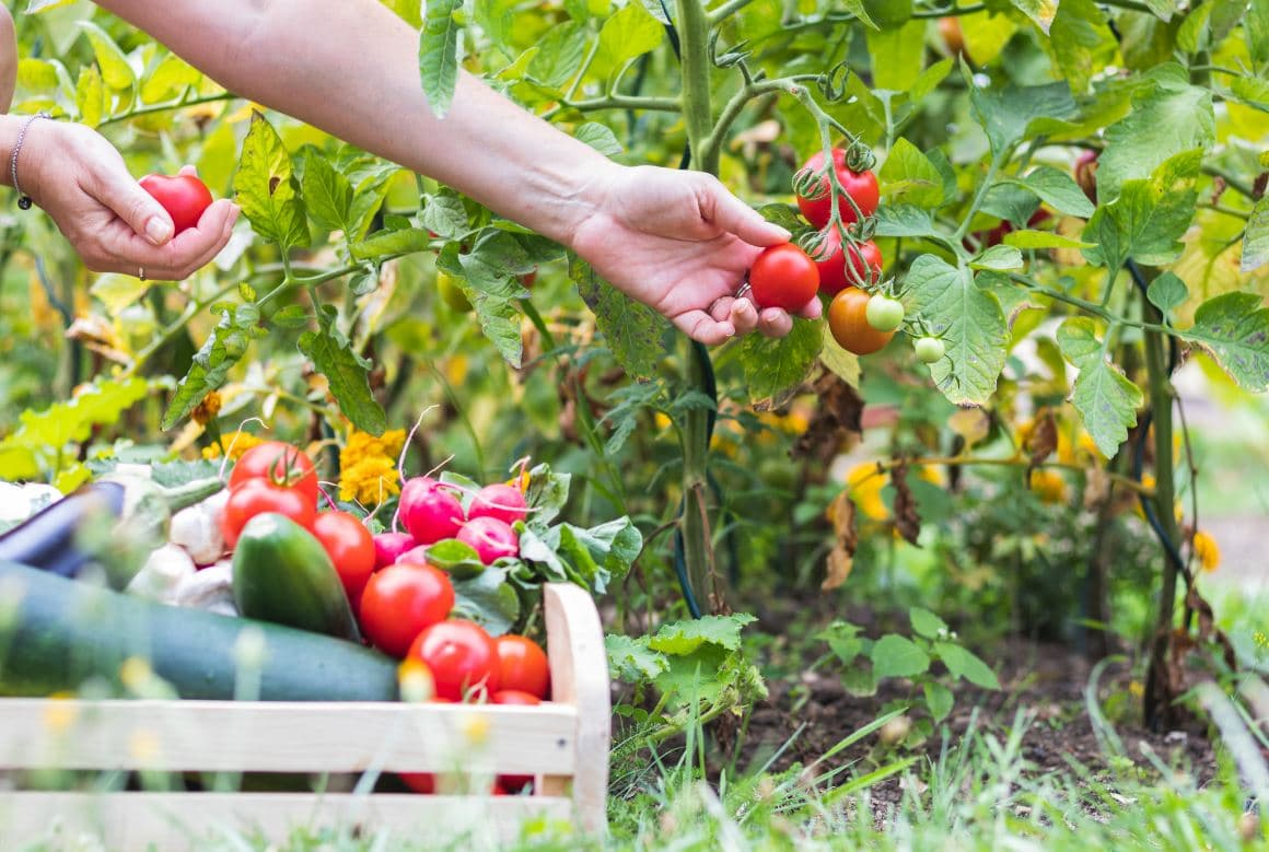 Jardin Tomates Mai
