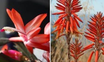 Plante Grasse Fleur Rouge