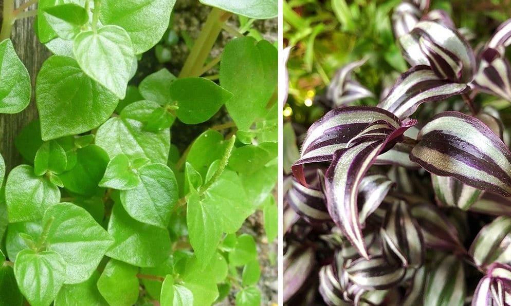 Plante Intérieure Tombante