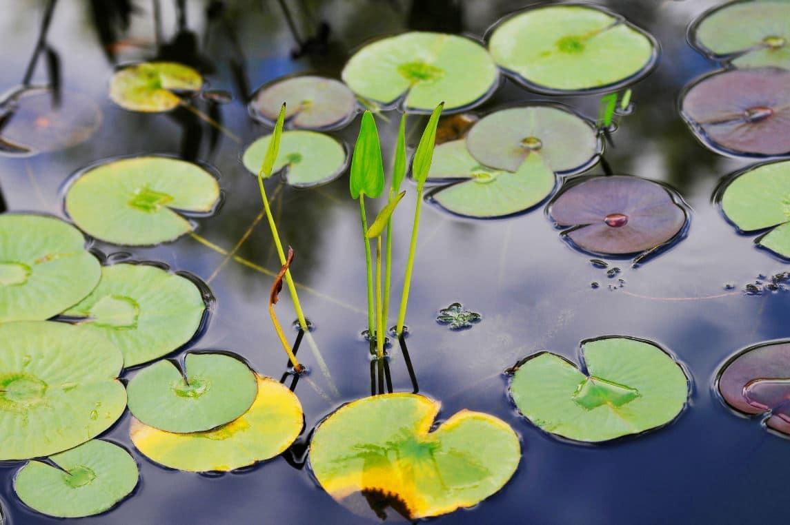 Plantes D'eau Aquatiques